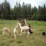 Jättefina alpackor