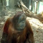 Orangutanghonan